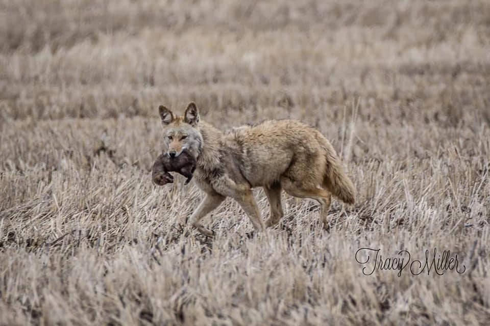 Coyote mom moving her pups one by one to a new den site (photo by Tracy Miller)