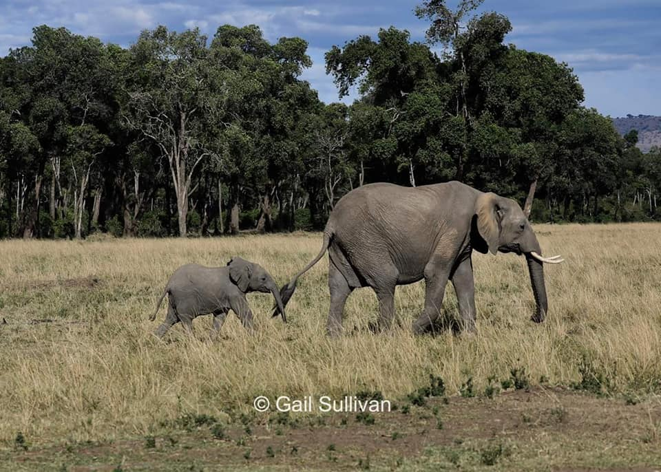 African Elephant mother and calf. Calves usually hold onto their mother or nanny's tail as they walk to new foraging grounds or watering holes (photo by Gail Sullivan).