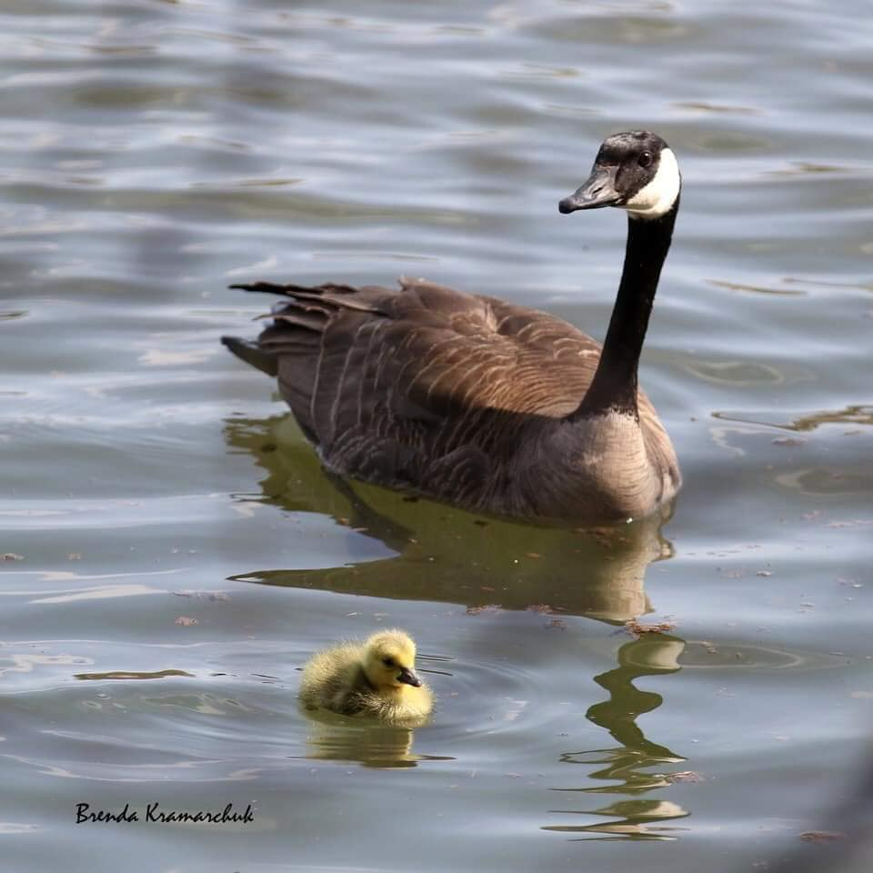 Canada Goose mother with new gosling (photo by Brenda Kramarchuk).
