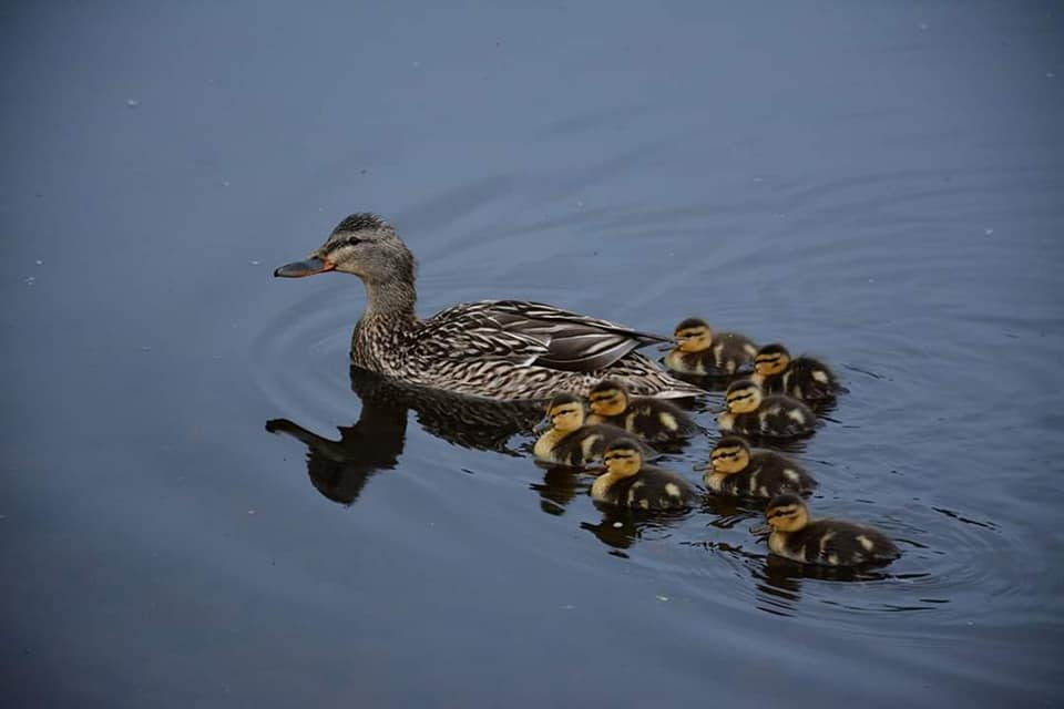Mallard Duck mother with eight tiny ducklings (photo by Karen Reyda-Mayer).