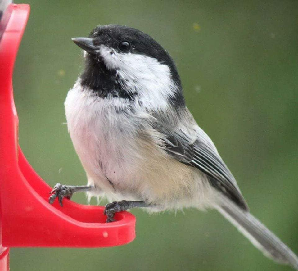 A Black-capped Chickadee at a window feeder (photo by Kimberly Epp).