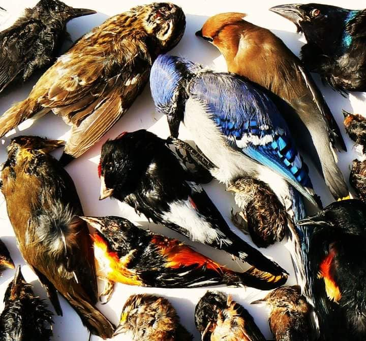 An assortment of birds that died from window strikes (photographer unknown).