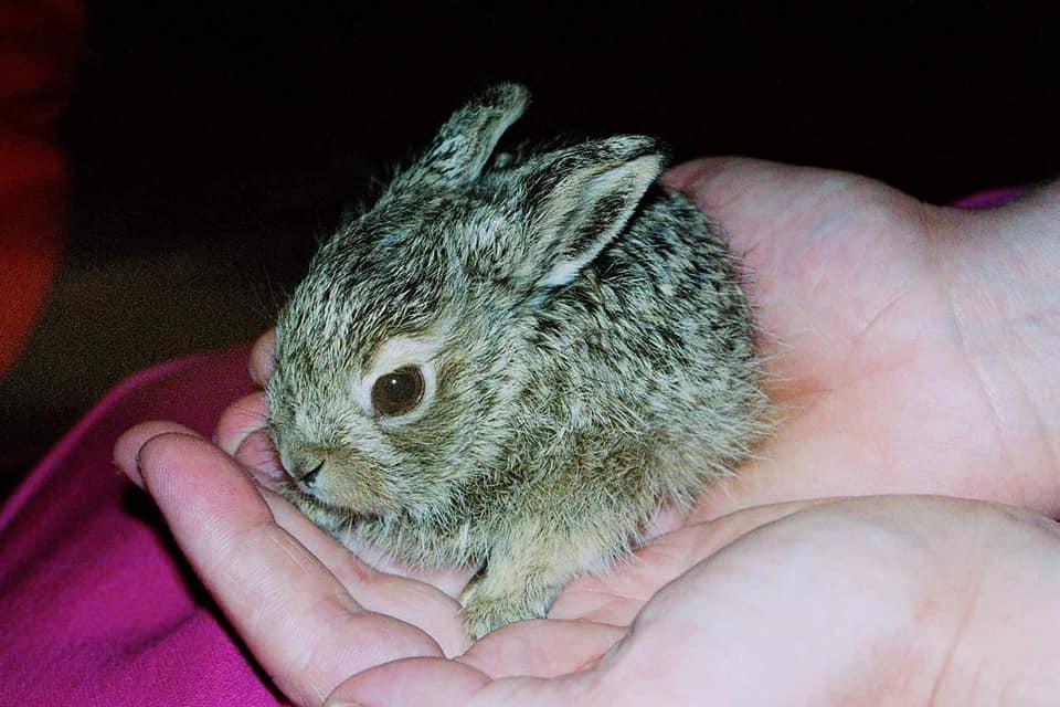 "Baby Cottontail Rabbit (photo courtesey ""Living Sky Wildlife Rehabilitation"", Saskatoon)."