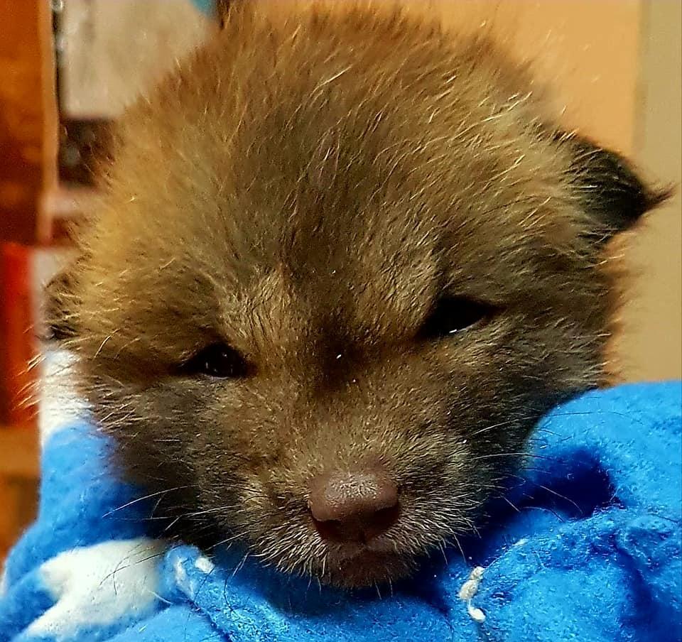 "Orphaned 4 week old fox kit, 2018, ""Living Sky Wildlife Rehabilitation"", Saskatoon (photo by Kimberly Epp)"