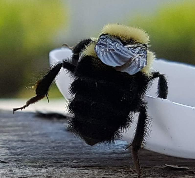Eastern Bumblebee taking sips of sugar water to regain its strength (photo by Kimberly Epp).