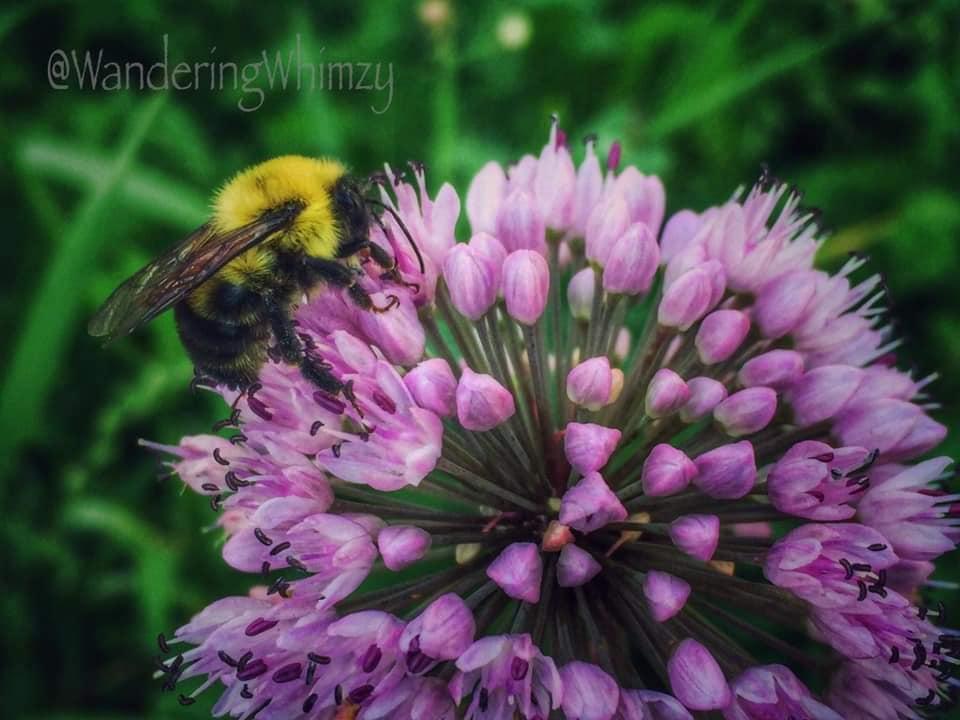 """Confusing Bumblebee"" (photo by Karla Paull Rasmussen of ""Wandering Whizmy Photography"".)"