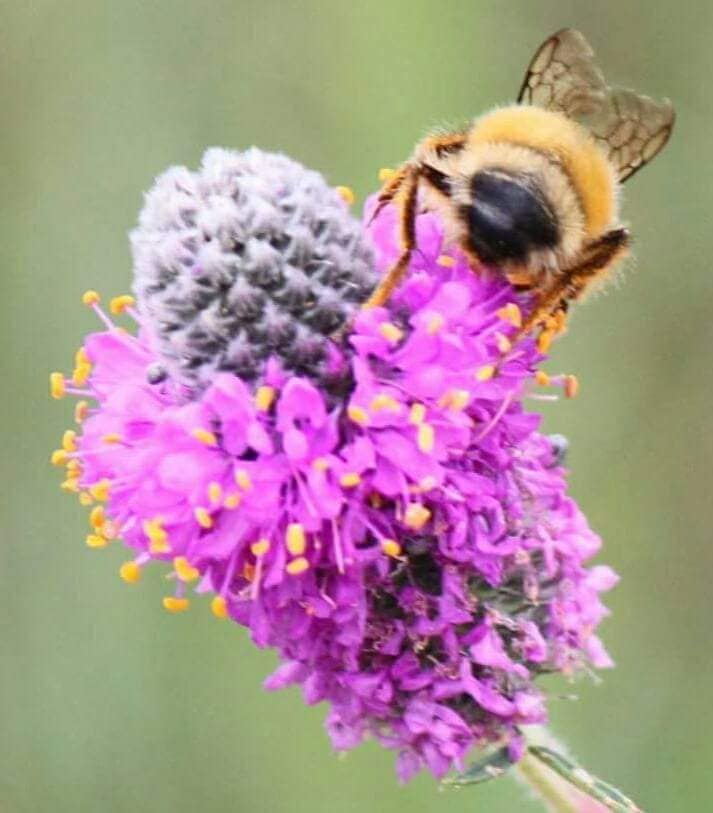"""Possibly a """"Confusing Bumblebee"""" on a Purple Prairie Clover (photo by Kimberly Epp)."""