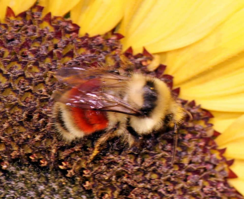 """""""Hunt Bumblebee"""" on a sunflower (photo by Kimberly Epp)."""