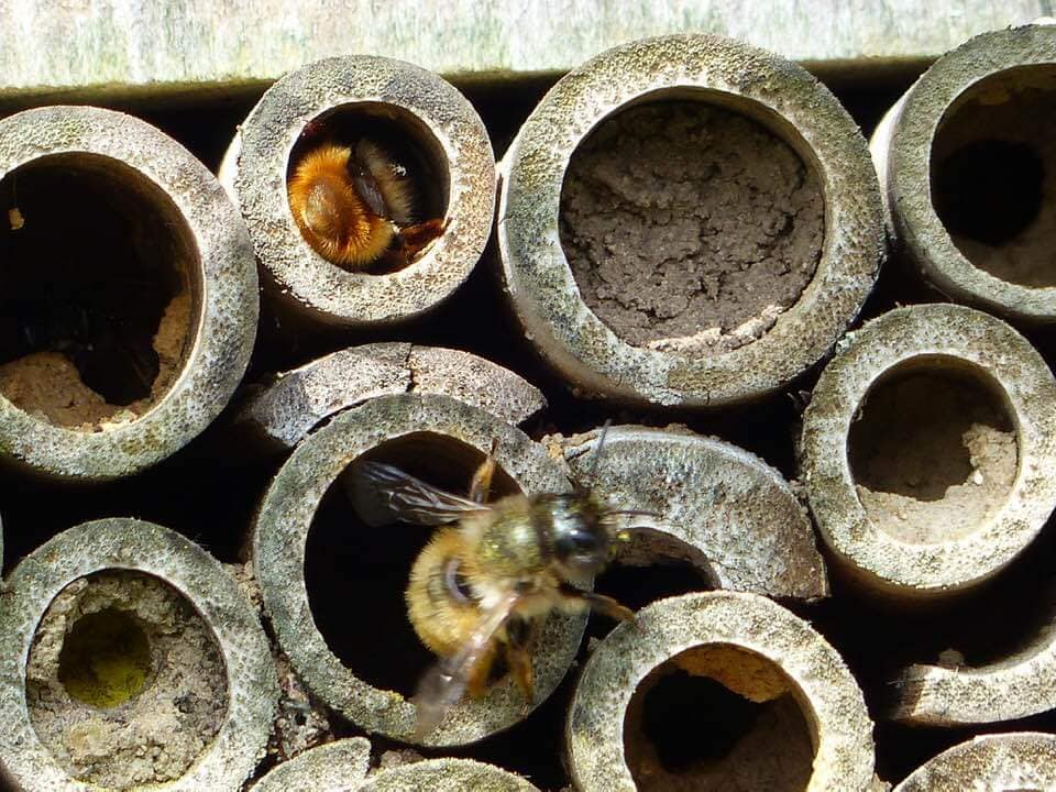 """""""Mason Bees"""" in a bee hotel (photo by Judith Cavey)."""
