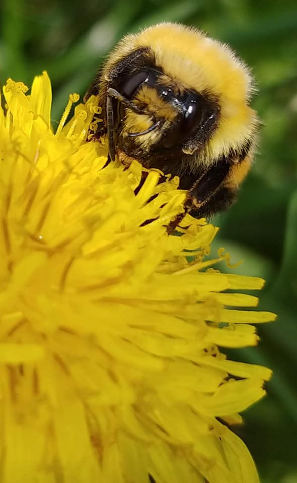 """Possibly a """"Confusing Bumblebee"""" on a dandelion (photo by Alison Zinn)."""