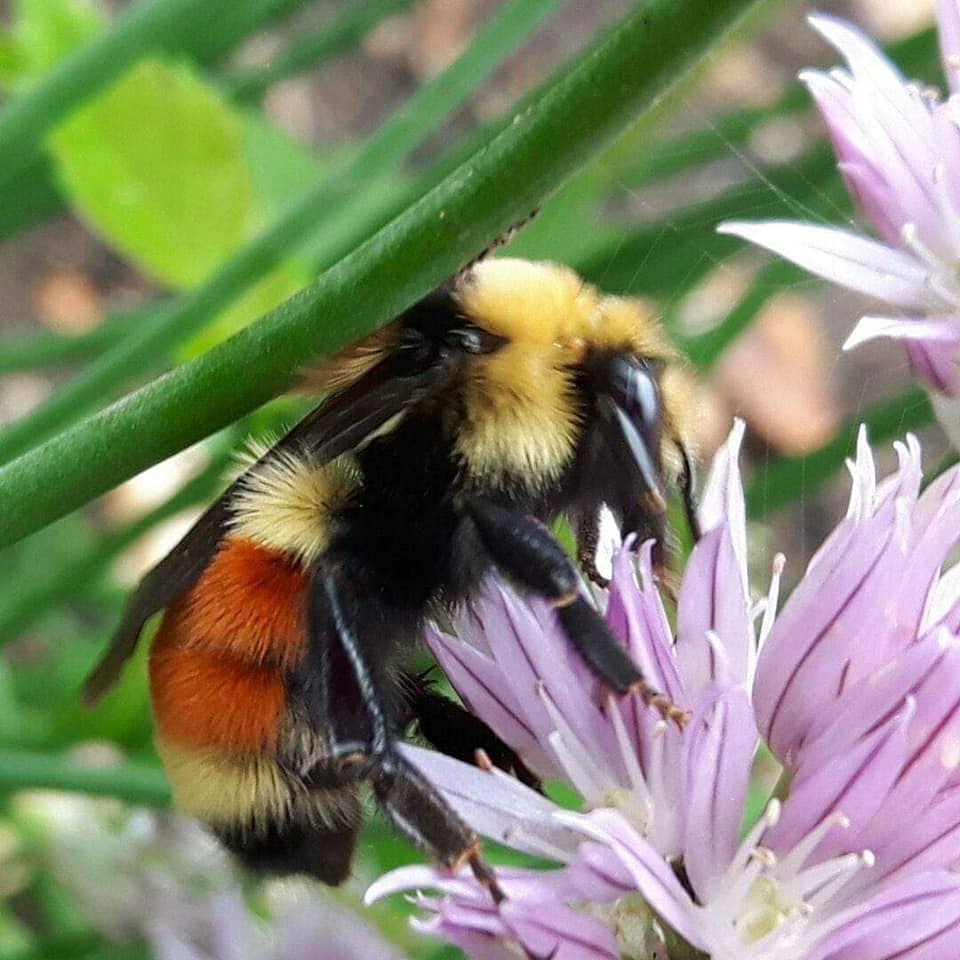 """""""Tri-colored Bumblebee"""" (photo by Peggy Markel)"""