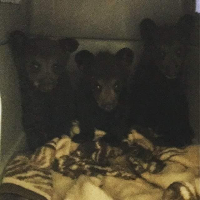 The three orphaned cubs, soon after being brought to the Living Sky Wildlife Rehab Centre (photo courtesey Living Sky Wildlife Rehabilitation).