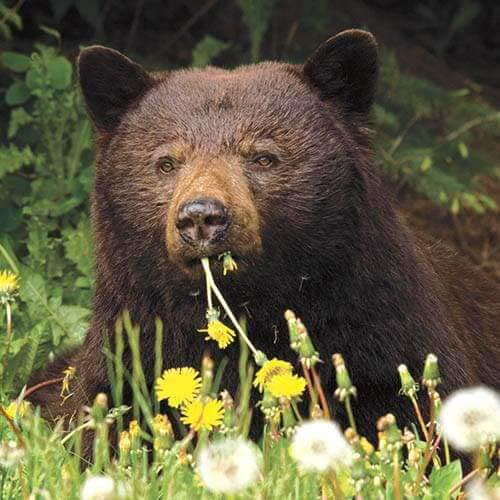 A bear supplementing its diet with dandelions (photo by Sylvia Dolson).