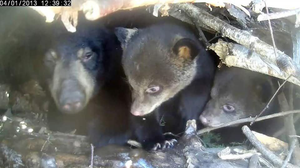 Mother Black Bear with her cubs in their den in Alaska. The fact that the USA will allow the hunting of defenseless mothers and cubs in their dens is absolutely appalling (photo source unknown)
