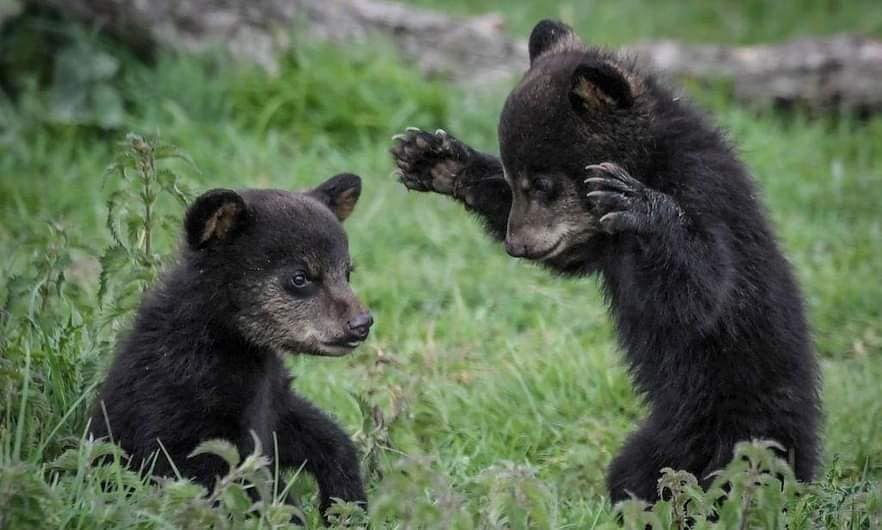Baby Black Bears playing. Can there be anything cuter? Play is important in teaching a young bear how to survive in an ever-changing world; one that is not always hospitable to bears (photo source unknown)