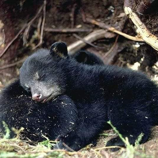 Baby Black Bears sleeping (photo source unknown)