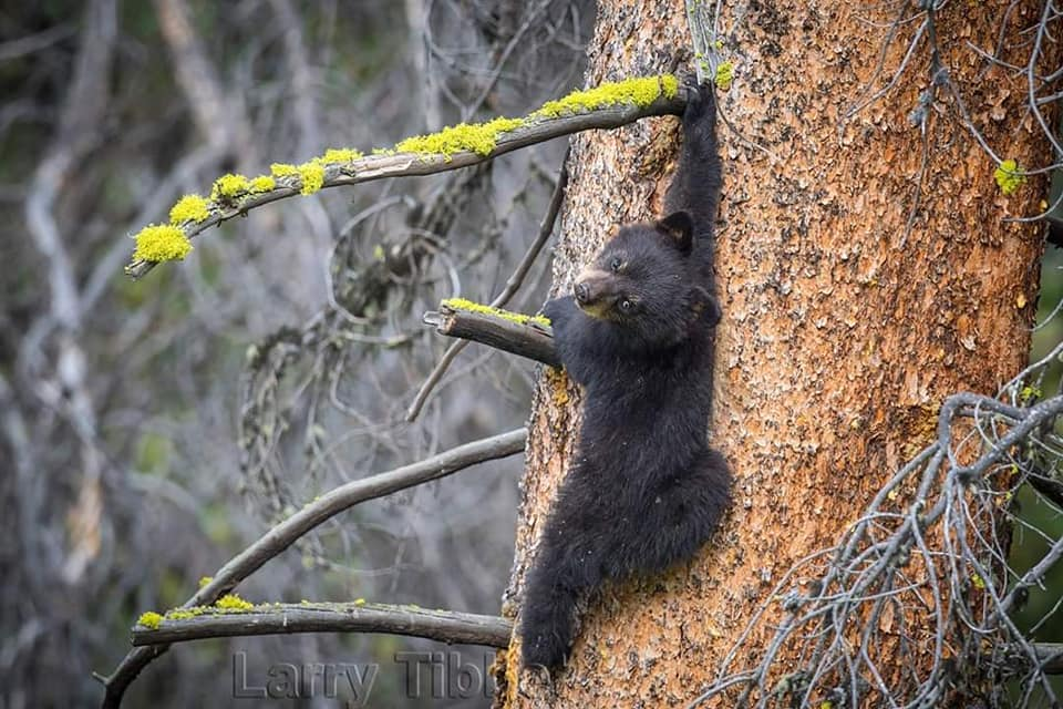 Black Bear cub learning to climb (photo by Larry Tibet)