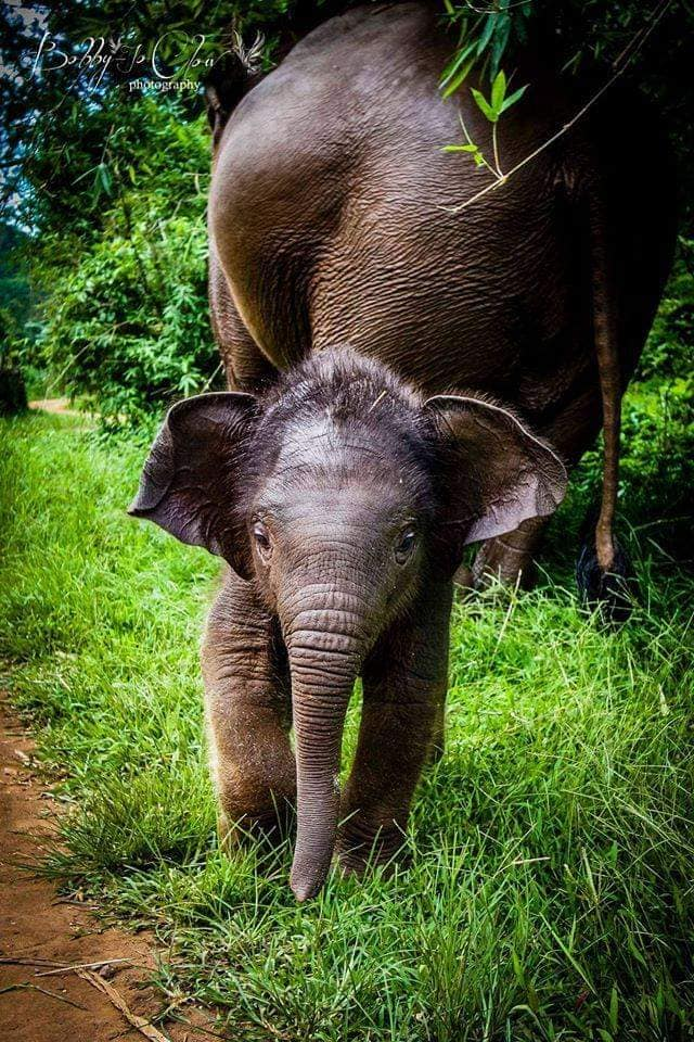Cute Asian Elephant calf in India. Asian Elephant calves are hairy, while African Elephant calves have wrinkles. Among the many differences between the two species, their ears are smaller and in the shape of India - while African Elephant ears are larger, and in the shape of Africa (Photographer unknown).
