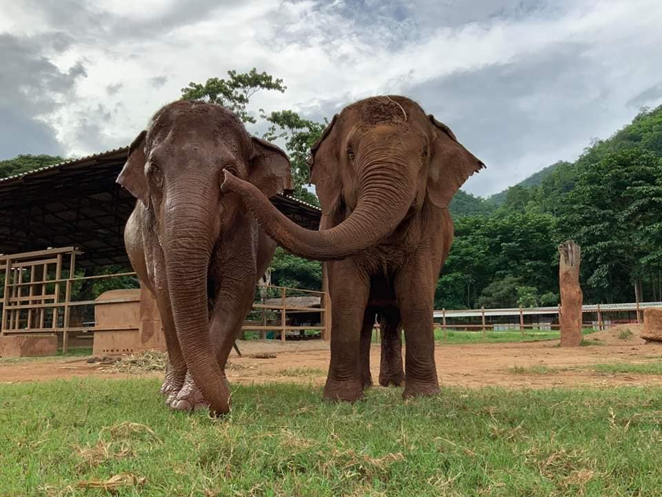Two happily rescued Asian Elephant friends at Elephant Nature Park in Chiang Mai, Thailand. Touch is an important part of elephant companionship. When a new rescue is brought in the herd goes to meet him/her and they greet by trumpeting, caressing and smelling the new resident with their trunks. Elephant Nature Park is run by Lek Chailert and her Canadian husband Darrick Thomson. (Photo by Elephant Nature Park)