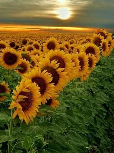 Sunflower field in Ukraine