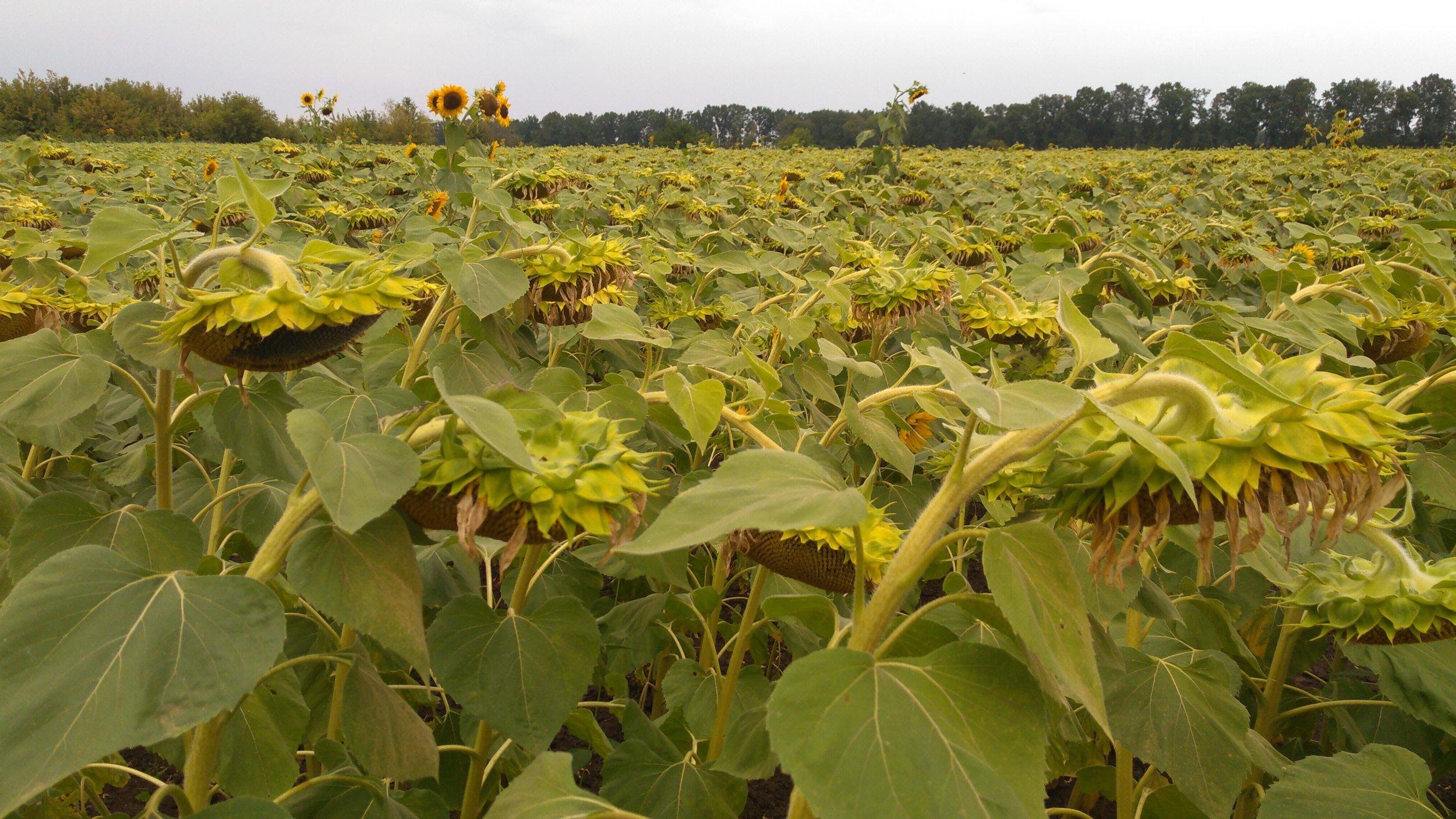 Sunflower field approaching harvesting in the Poltava region
