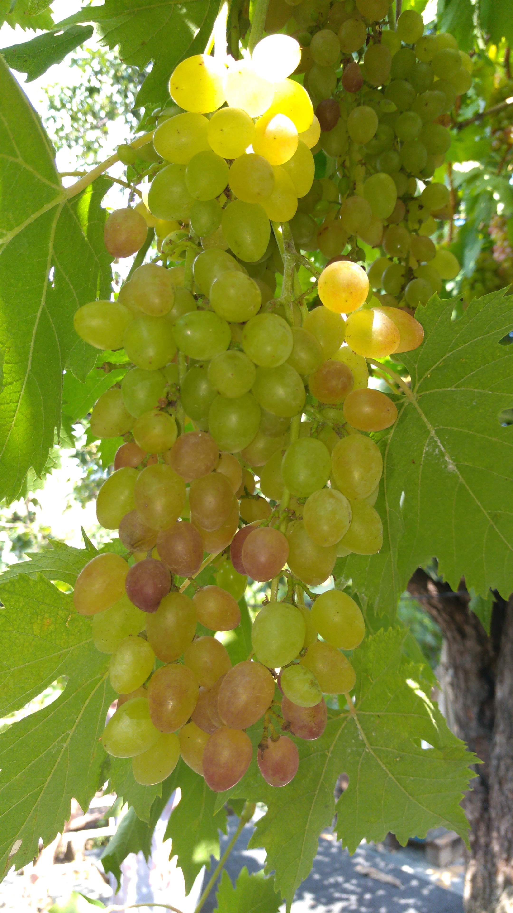Grapes growing in the Odessa region