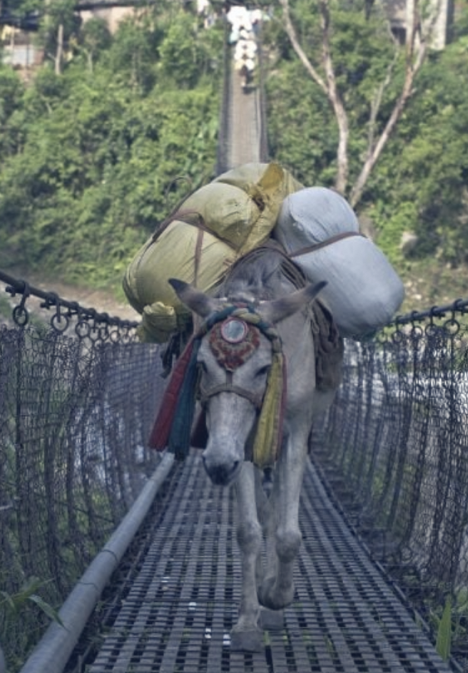 This pack mule is part of a mule train that is carrying supplies in Nepal.