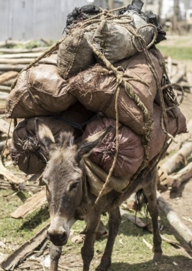 Overloaded and struggling donkey carrying goods to Hosanna grain market in Ethiopia