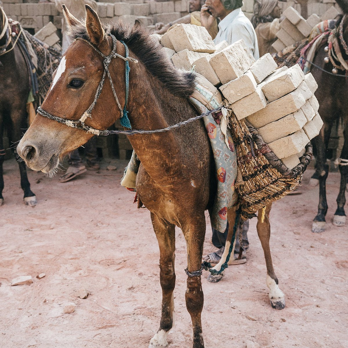 young horse overloaded with bricks.jpg