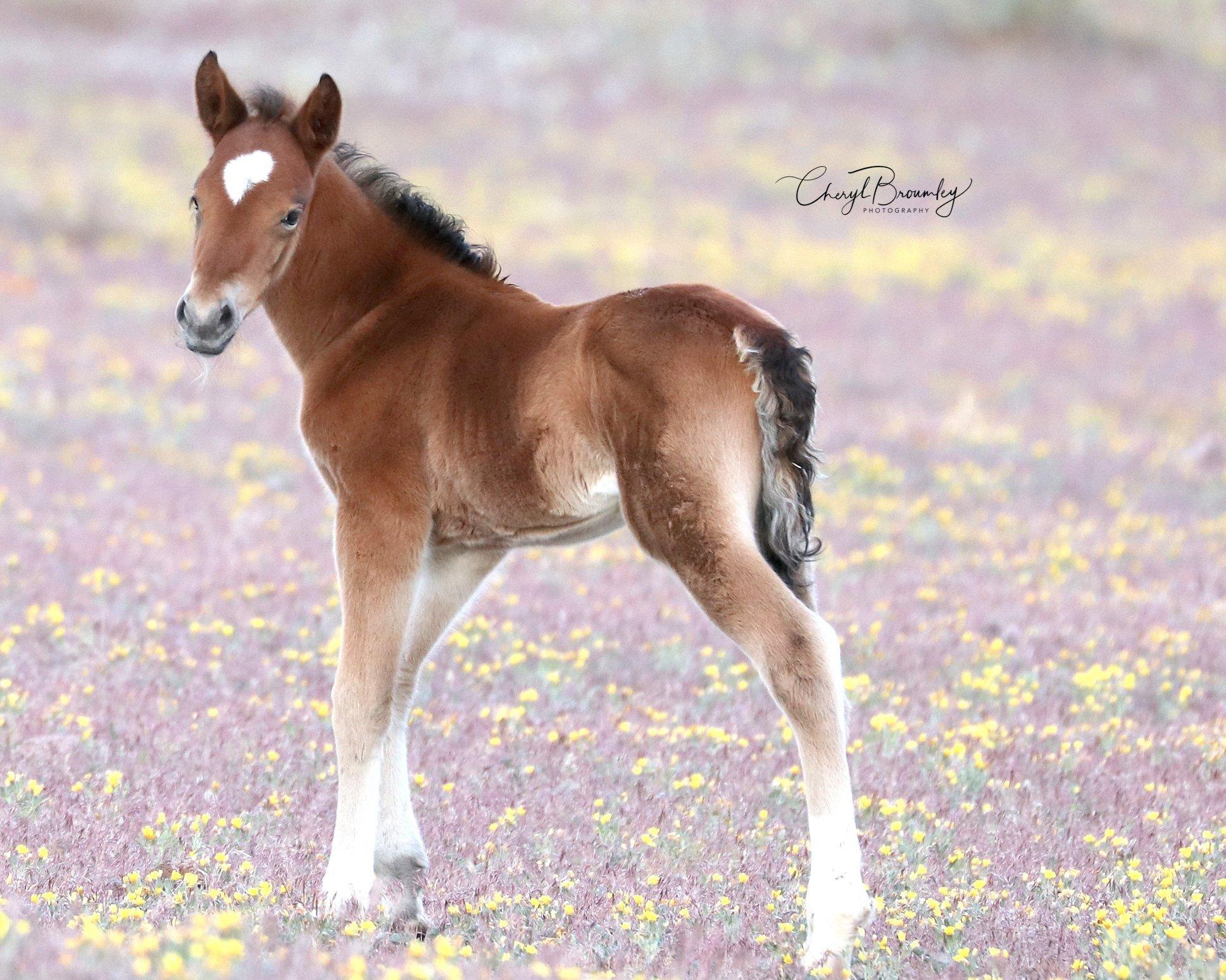 Cheryl Broumley - Nevada Wild Horse