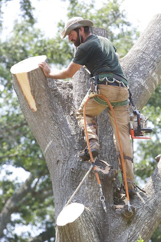 Large Tree Removal: Water Oak