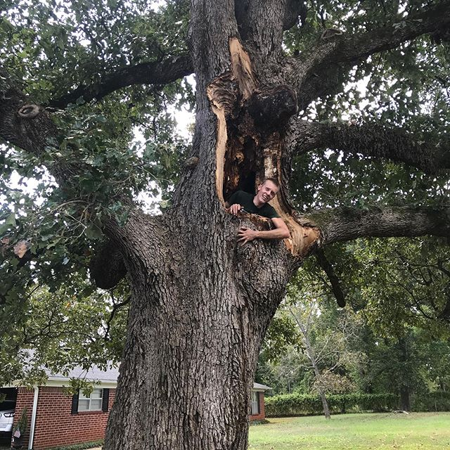 """Close call, Paul.  Humongous post oak almost devours Sunnybrook Tree climber Paul Hoyt.  The _branch_ he was sitting on was 98 years old, so based on """"average rings per inch"""" we estimate this 51"""" diameter tree is almost 250 years old! Lucky for Paul post oaks grow slowly."""