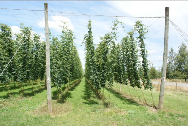 The amazing sight of fresh Hops in Moutere, New Zealand.