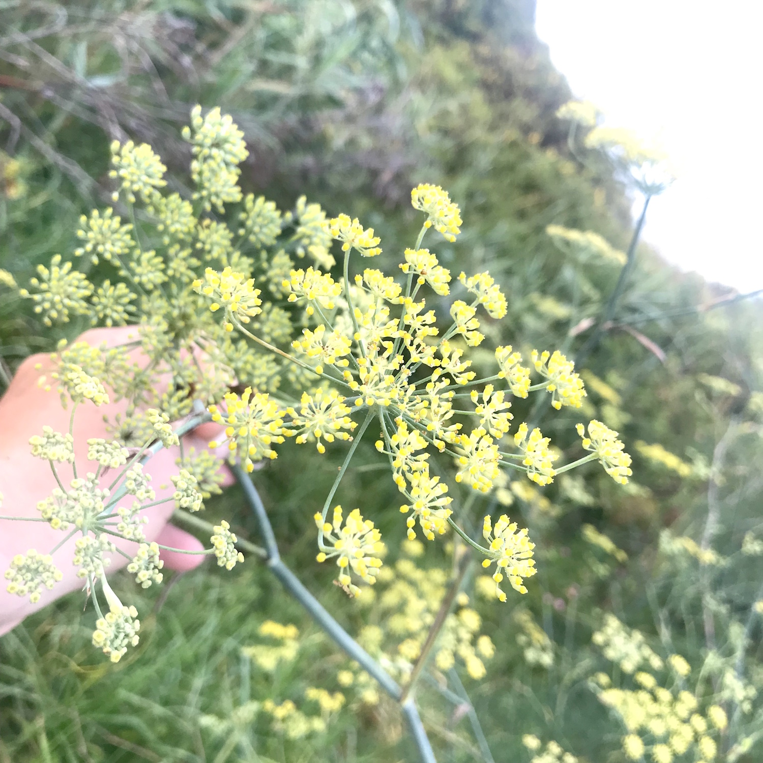 - Wild fennel Flowerheads –Foeniculum vulgarePlenty to offer, at the moment sweet and fresh young seeds.25g 600ml punnet