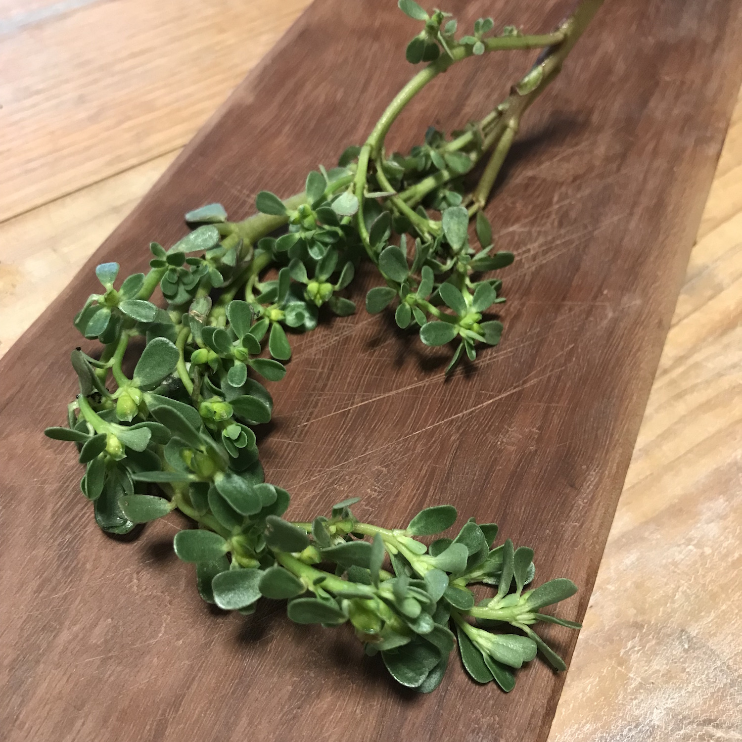 Wild purslane - A wonderful native, enjoyed all over the world fresh in salads, stewed and served with meat or as stuffing for fish just to say a few.150g 600ml punnet