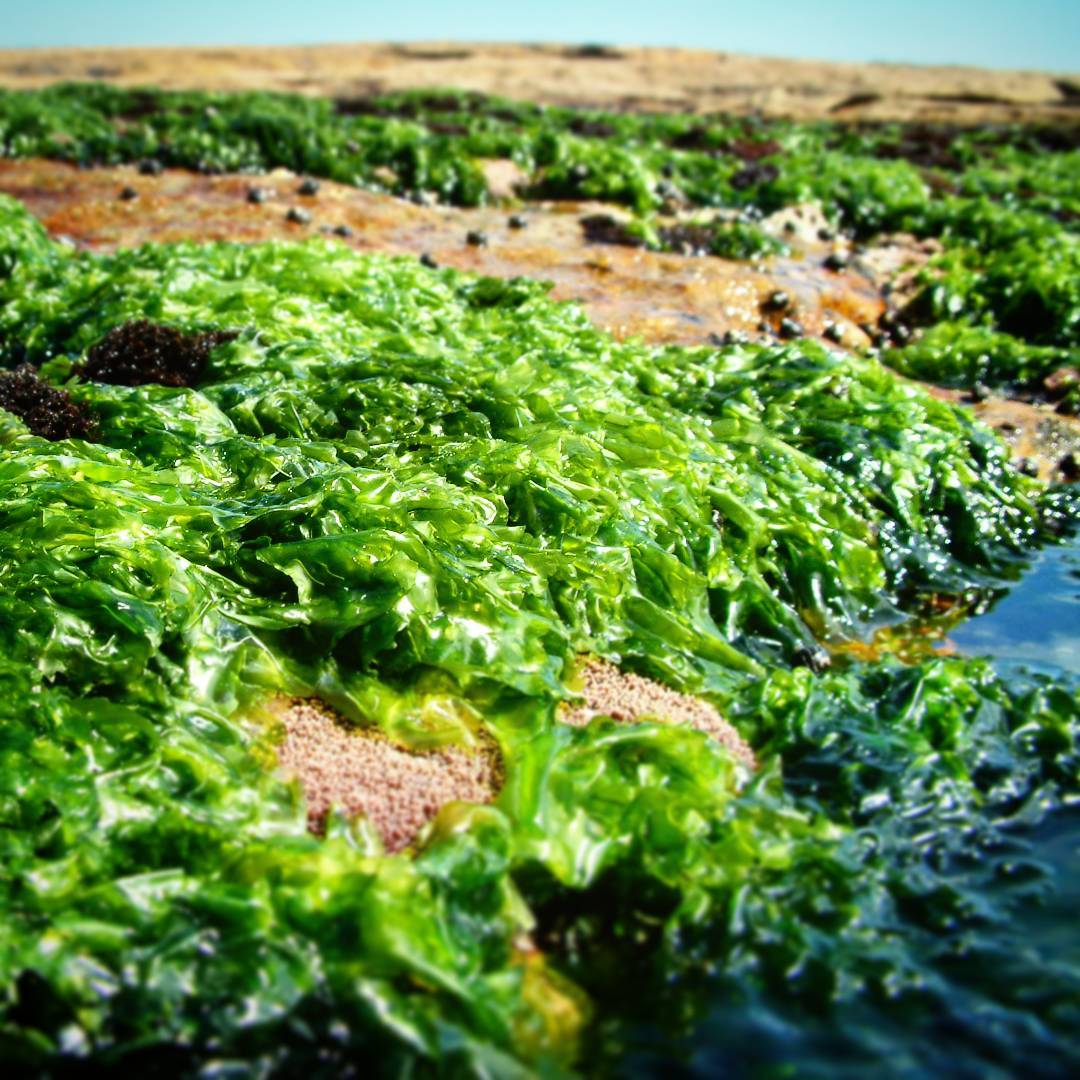 - Sea lettuce Ulva lactucaNow available in 150gms punnets, straight from the sea shore.