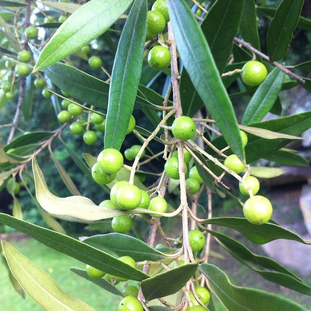 - Wild OlivesOlea CuspidataSmall, flavoursome wild olives. To be brined and used as the commercially viable ones.