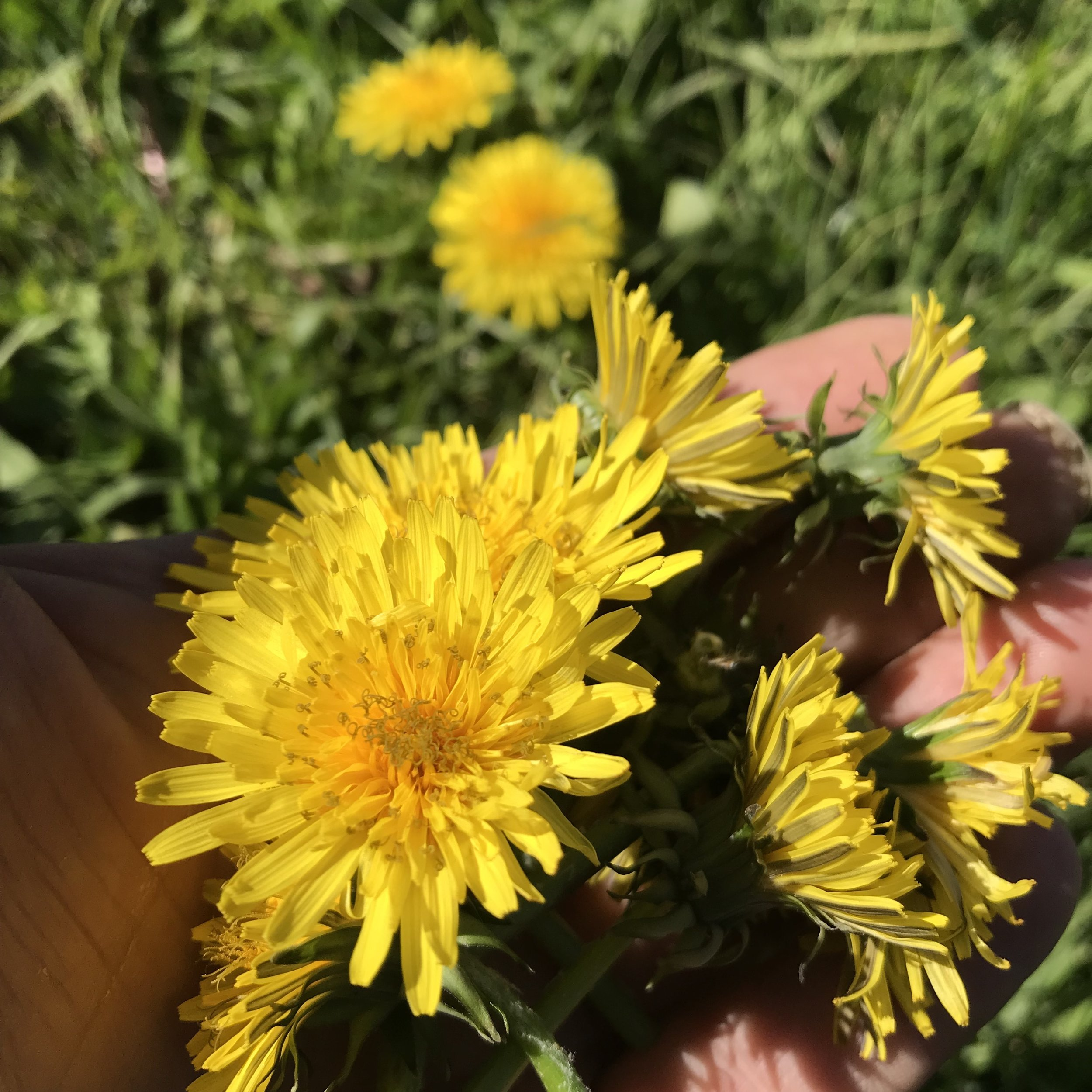 - Dandelion flowersTaraxacum officinaleLimited season.Outstanding colour and texture. Sweet and bitter, loved all around the world in fritters, infused with honey, vinegar or soda, or just fresh as garnish.Available in 600ml punnets.