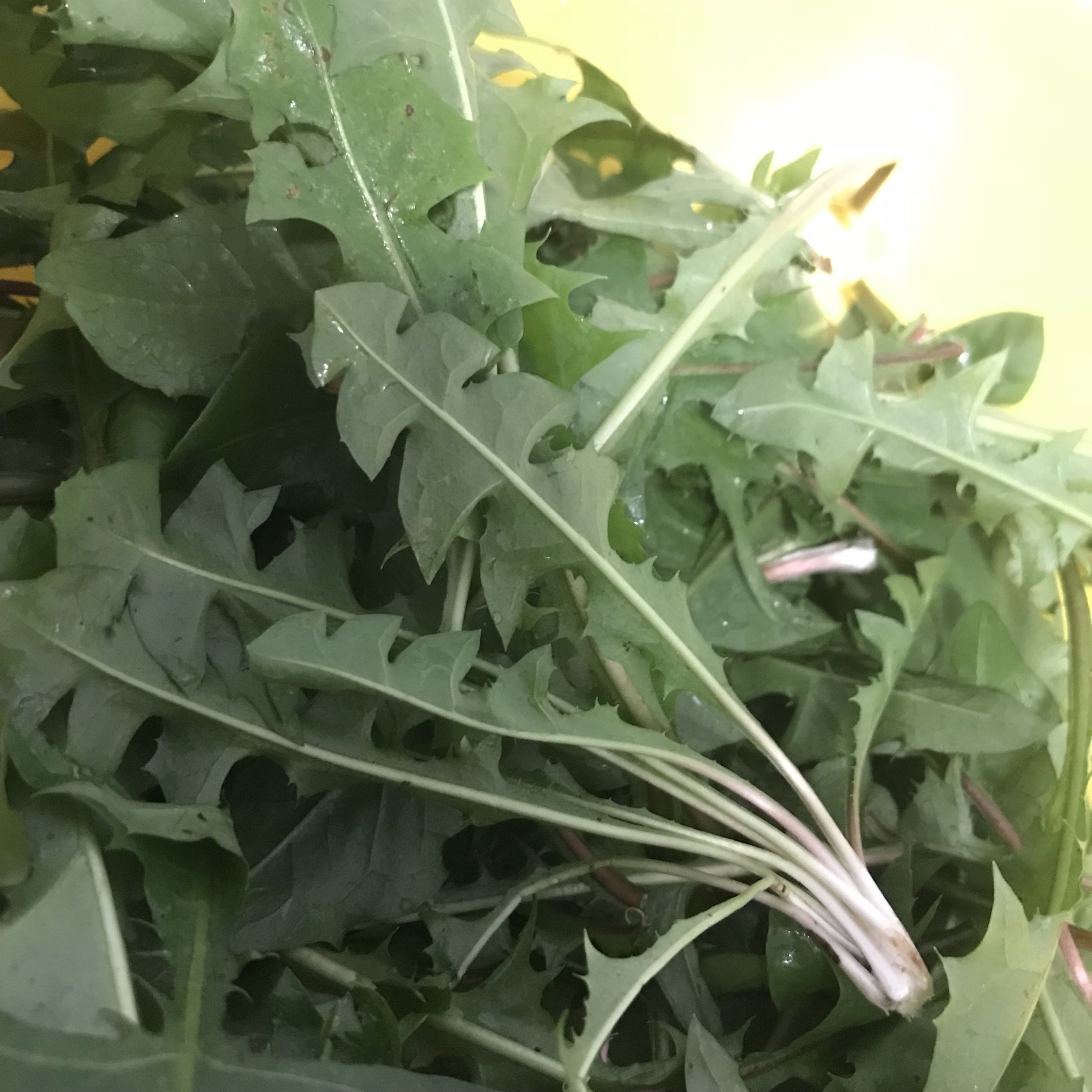 - Dandelion greensTaraxacum officinaleHarvested wild this is the best time of the year for the dandelion greens.Frittata, horatpita, dumplings and more awaits.Available in punnets or bulk.