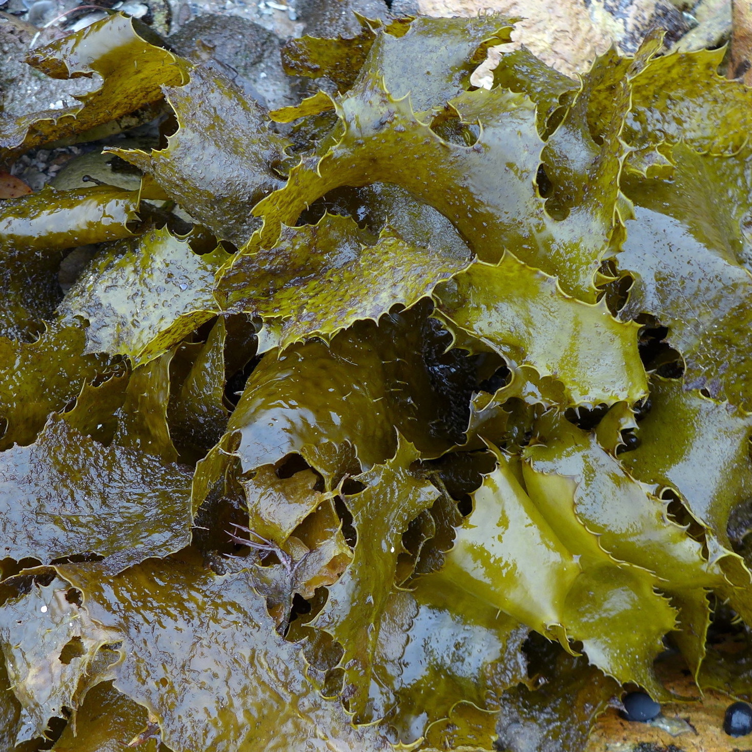 - Golden kelpEcklonia radiataAvailable all year around this common seaweed has lots of potential. It goes bright emerald green when in boiling water and pickles very well.A salty addition to your repertoire!Available in bulk with one week notice.