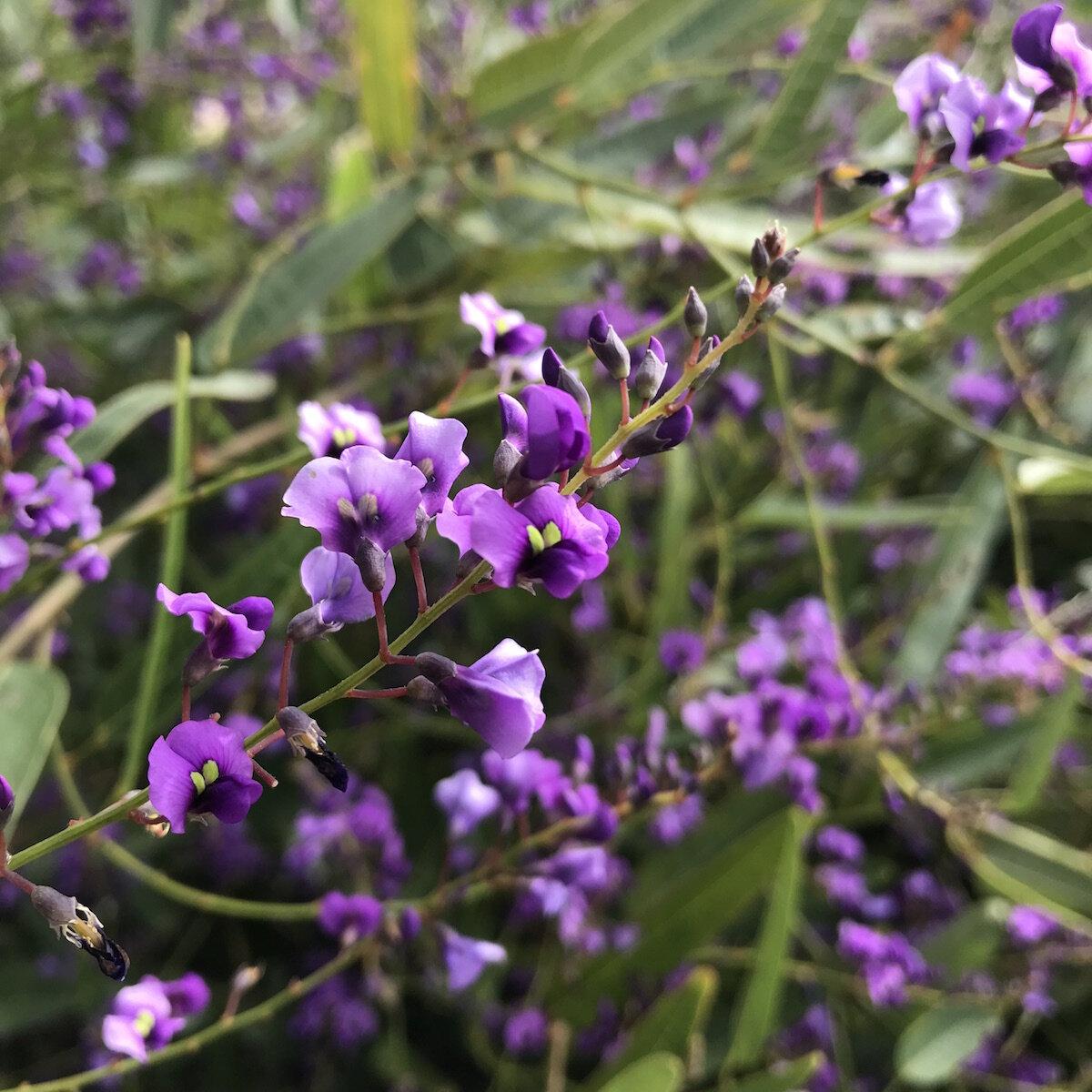 - False-sarsaparillaHardenbegia ViolaceaThe recent rain brings out a flash of this sweet, fresh native flower.Super short season.In punnets or bulk.