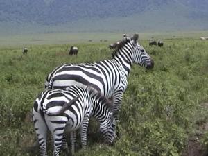 Zebra mom & baby_KStanleyPhoto.png