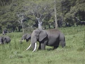 Old Elephant_Tanzania_KStanleyPhoto.png