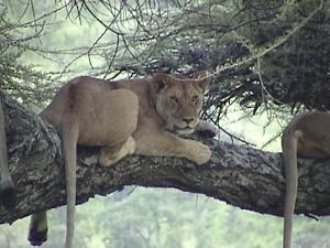 treelions_Tanzania_KStanleyPhoto.png