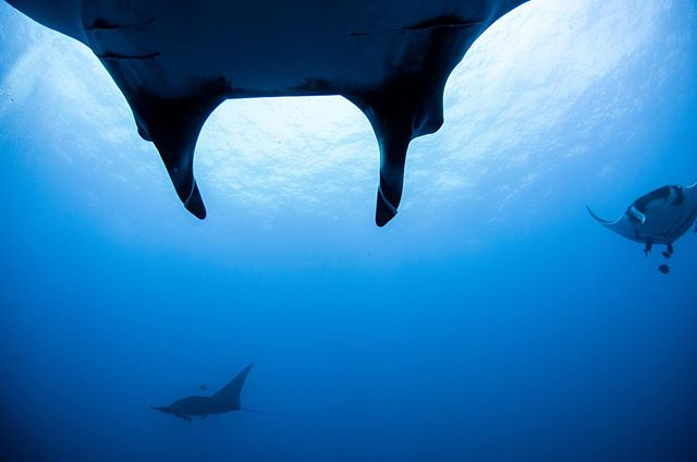 Socorro's manta rays are so special.  They've developed a relationship with scuba divers — when divers exhale, the mantas swim over them and seem to bask in the bubbles.  Maybe it helps remove parasites.  Maybe it just feels good.  Gliding beneath these 20 foot wide giants and making eye contact with them was otherworldly.