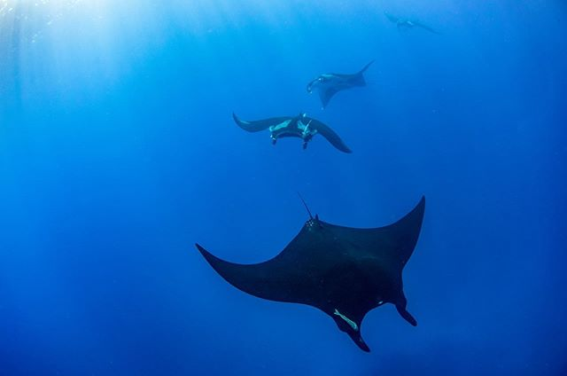 This is my favorite photo from Socorro — to me, they look like spaceships coming in to land.  The Revillagigedo Islands are a haven for marine life and a beautiful example of what marine protected areas can do for the ocean and its inhabitants.  Unfortunately, manta rays are becoming increasingly fished in other parts of the world due to demand for their gill rakers used in traditional Chinese medicine, and as accidental by-catch.  There's very little data on how populations are faring globally, but some organizations like @marinemegafauna are trying to learn more about the species.