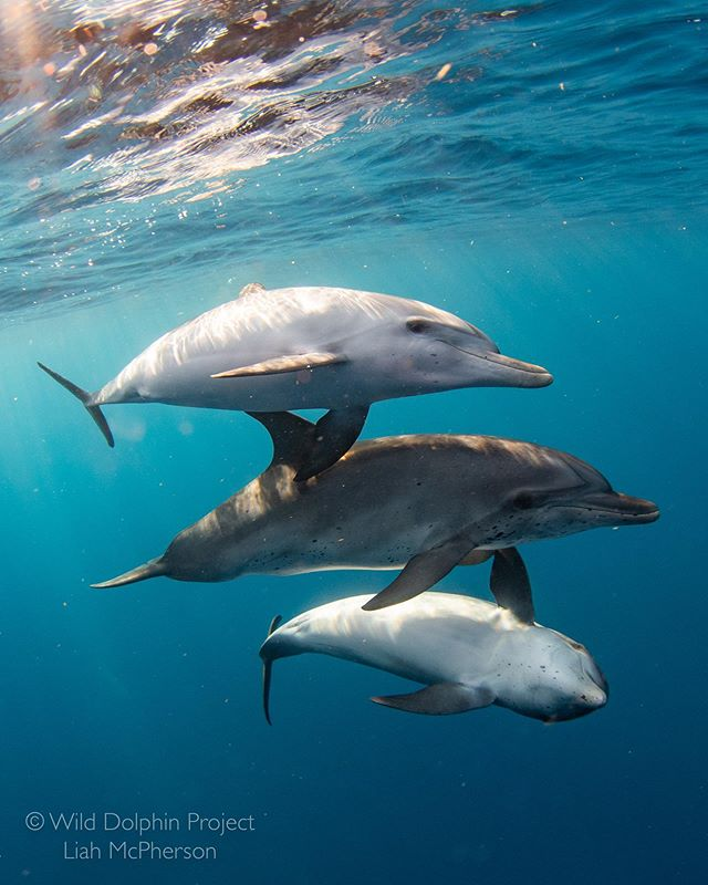 Three juvenile Atlantic spotted dolphins socialize one evening in some of the clearest water I've ever seen.  Recording the behavior and interactions of these dolphins year to year allows us to study the development and fluidity of their social relationships.  It doesn't hurt that we have the ideal field site for these types of observations!