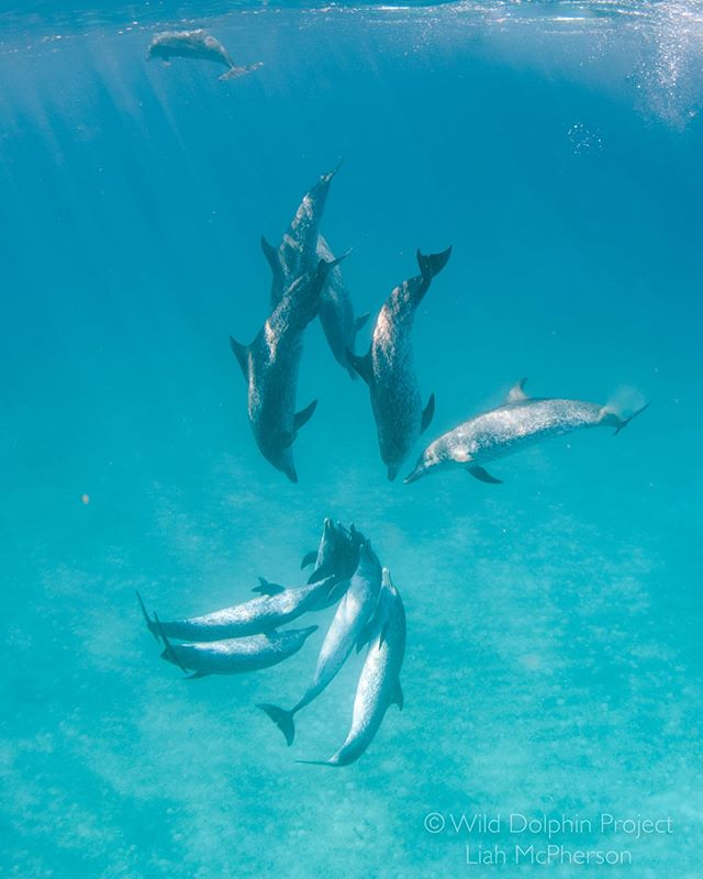 """This season, we've been observing lots of aggressive behavior between male spotted dolphins.  During these interactions, opposing groups position themselves """"head to head,"""" synchronizing their movements and vocalizations to intimidate the other group. These bouts of aggression are thought to occur over access to females, or to establish dominance and alliances."""