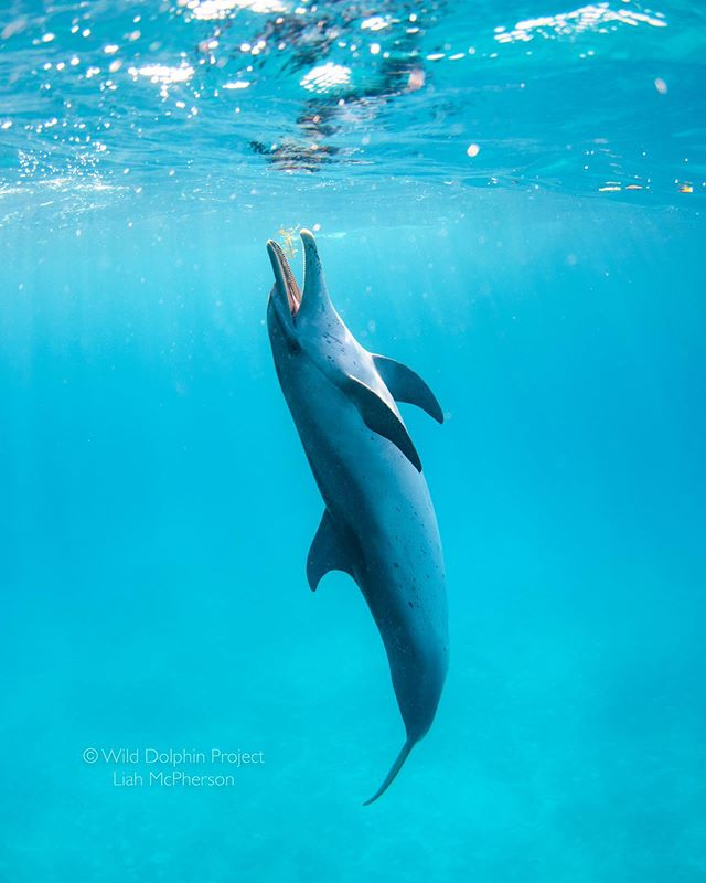 """We just returned from trip 5 of @wilddolphinproject's field season.  Here, a dolphin we call Littleprawn plays with a piece of sargassum sea grass.  In the ocean, """"toys"""" are limited and sargassum is a favorite.  The dolphins are also quick to investigate novel objects — we recently saw a group gathered around a floating onion!  Sadly trash can be novel too, and I saw Littleprawn playing with plastic yesterday."""