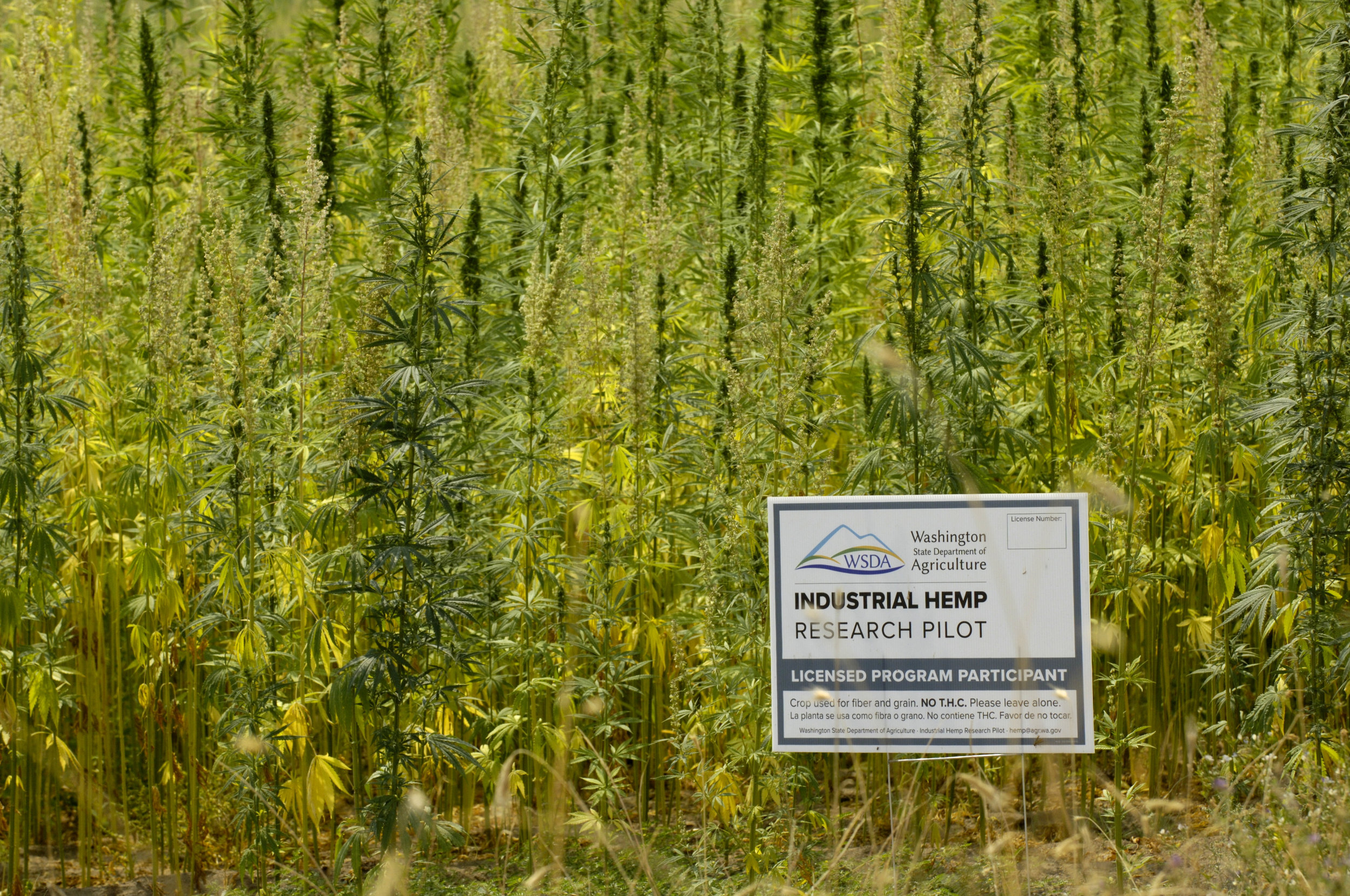 Hemp grows in 2018 on the Colville reservation in north eastern Washington State.